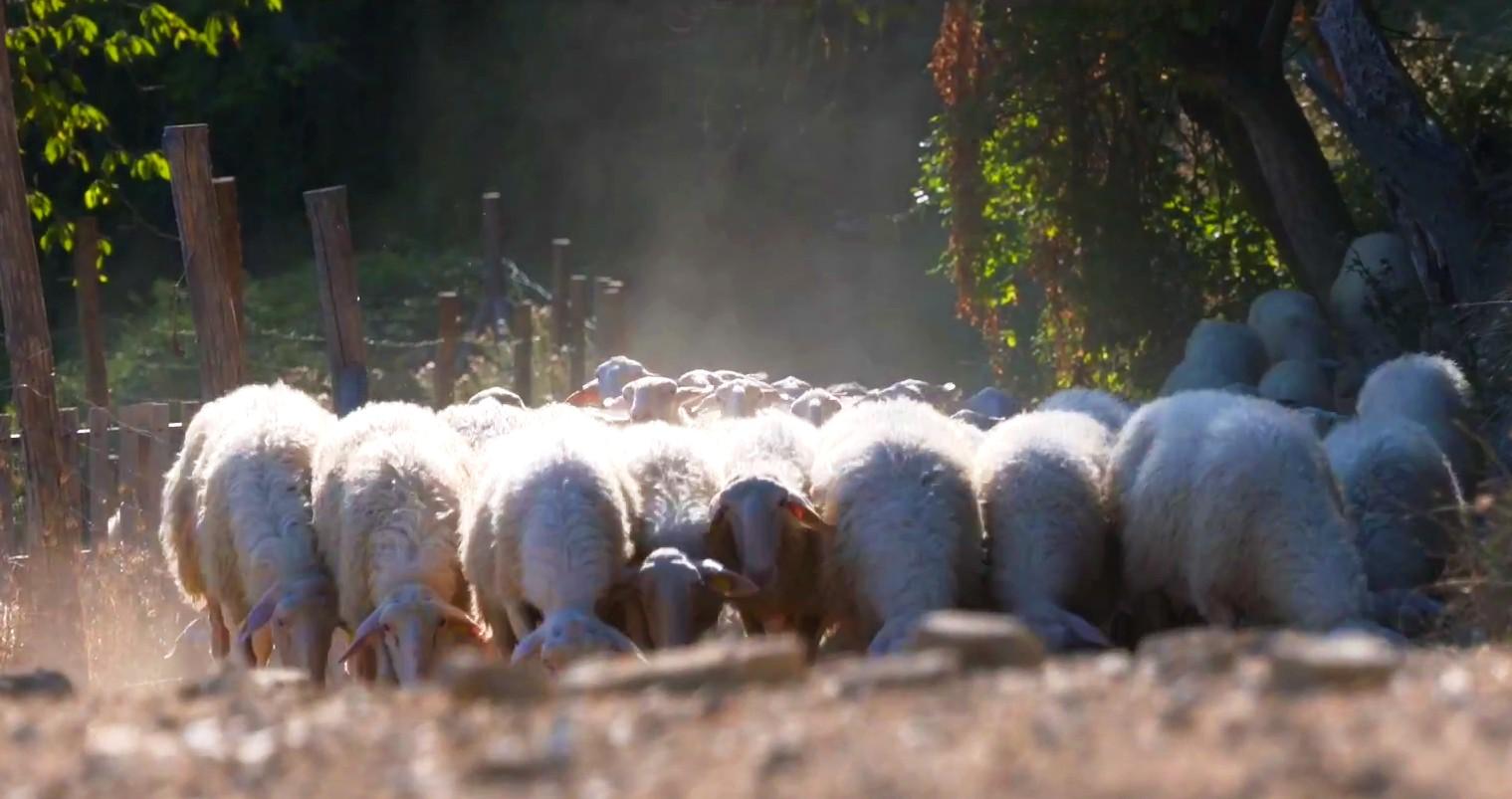 Pecora delle Langhe
